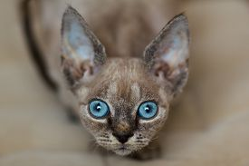 Close-up View Of Face Of Devon Rex Kitten With Blue Eyes