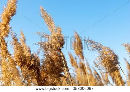 Dry Reeds Against A Blue Sky. Golden Reed Grass In The Spring In The Sun. Abstract Natural Backgroun