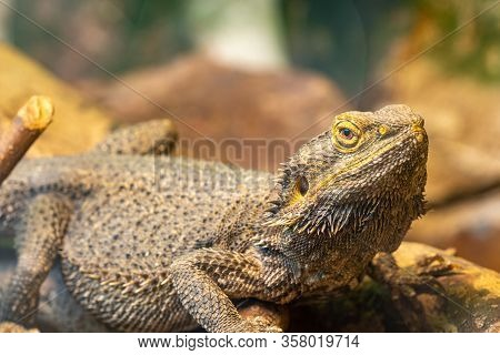 Central Bearded Dragon (pagona Vitticeps)