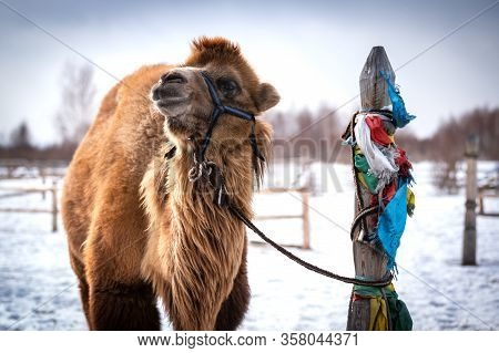 Camel In A Buddist Monestary In Siberia By Snow In Winter