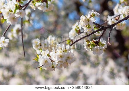 Apple Branch In White Blossom. Beautiful Nature Background On A Sunny Day In Spring. Blurred Backgro