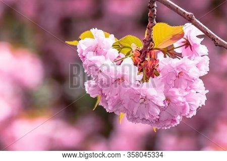 Pink Cherry Blossom Background. Beautiful Nature Scenery With Delicate Flowers Of Sakura In Springti