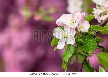 Apple Branch In White Blossom. Beautiful Pink Nature Background On A Sunny Day In Spring. Blurred Ba