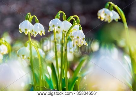 White Snowflake Flowers Blooming On The Forest Glade. Beautiful Side Lit Nature Scenery. Sunny Weath