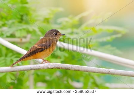 Beautiful Bird In Nature Ferruginous Flycatcher (muscicapa Ferruginea)
