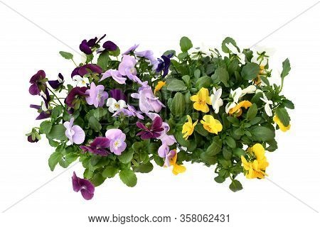 Beautiful Pansy Viola Flower In Tricolor, White, Yellow And Violet Or Purple Growing In Blue Pot On
