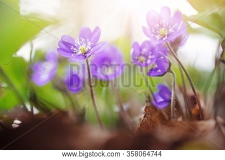 Anemone Hepatica Flowers In The Spring Forest