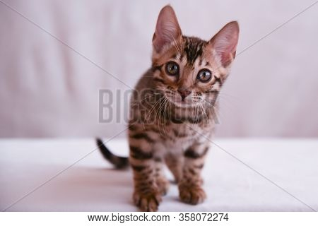 Funny Kitten Carefully Looks Directly Into The Lens. A Bengal Kitten Looks At The Camera With A Shar