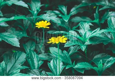 Pretty Yellow Petite Petals Of Creeping Daisy On Dark Green Leaves, Known As Many Name On Located Ar