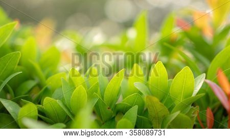 Blurry Leaf Background, Fresh Green And Red Young Leaves And Small Buds Of Australian Brush Cherry P