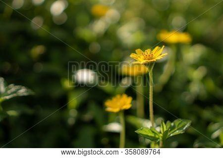 Pretty Yellow Petite Petals Of Creeping Daisy On Dark Green Leaves, Known As Singapore Daisy, Traili