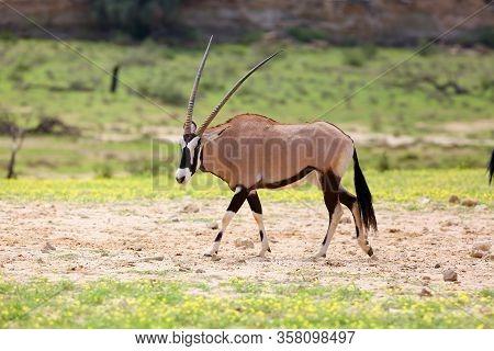 The Gemsbok Or Gemsbuck (oryx Gazella)  In The Desert. Oryx In The Green Desert.