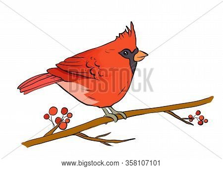 Northern Cardinal On A Branch Of Berry Tree Vector Illustration Isolated On A White Background. Red