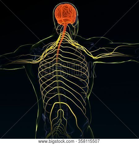 Brain Sends Messages Via The Spinal Cord To Peripheral Nerves Throughout The Body That Serve To Cont