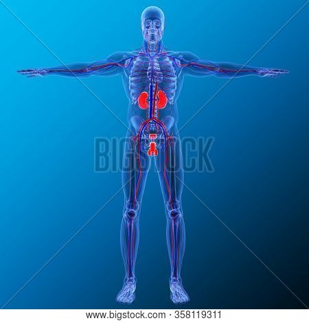 Kidneys Are A Pair Of Organs That Are Found On Either Side Of The Spine, Just Below The Rib Cage In