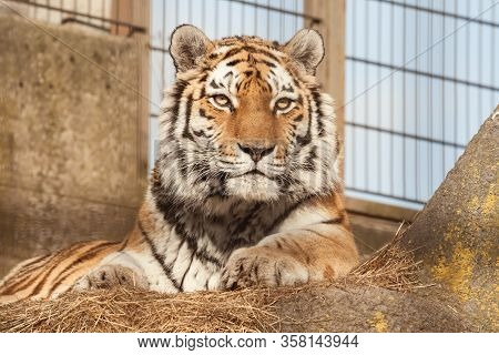 Siberian Or Amur Tiger At The Zoo. Tiger Sits In The Aviary Of The Zoological Garden