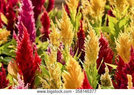 Red And Yellow Plumed Cockscomb (celosia Argentea)