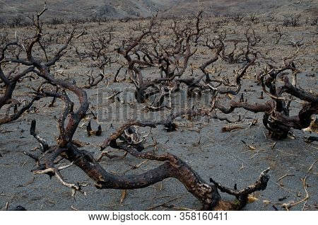 Burned Shrubland In The Torres Del Paine National Park By The Great Fire In 2011-2012. Magallanes An