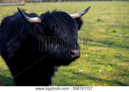 Young Black Highland Cattle Cow From Scotland