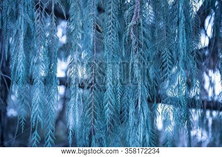 Long Strands Of Tree Branches Fill The Frame. Background, Texture Of The Plant.