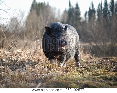 Meeting With A Wild Boar In Nature. Wild Animal