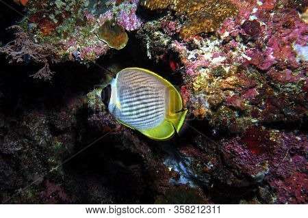 Raccoon Butterflyfish Crescent Masked Butterflyfish Cebu Philippines