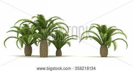 Canary Date Palm Trees (isolated On White Background)