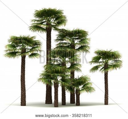 Windmill Palm Trees (isolated On White Background)