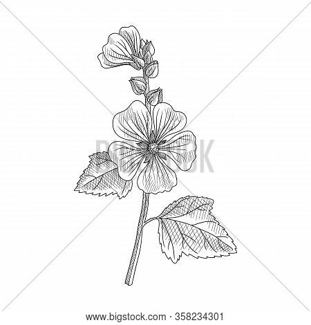 Vector Drawing Marsh-mallow, Althaea Officinalis, Hand Drawn Illustration
