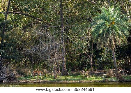 Beautiful Tiger Arrowhead Near Lake And Palm Trees In Nature Paradise At Ranthambore National Park O