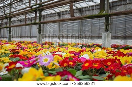 A Carpet Of Many Multi-colored Primrose Flowers, Also Known As Cowslip, Grown In A Greenhouse. Selec