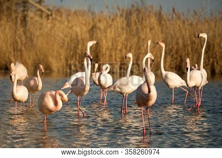 Flock Of Greater Flamingos (phoenicopterus Roseus), Camargue, France, Pink Birds, Wildlife Scene Fro