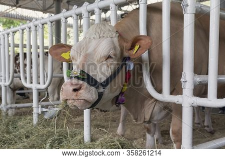 Cow Chewing Hay In The Barn. Agriculture