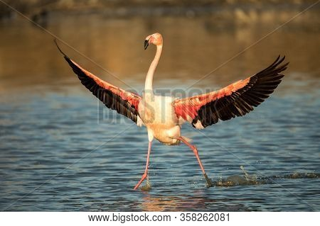 Greater Flamingo (phoenicopterus Roseus) Running In Water With Outstretched Wings, Camargue,pink Bir