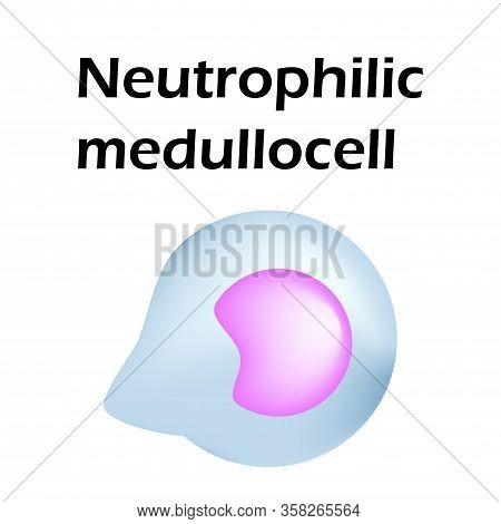 Neutrophils Structure. Blood Cell Neutrophils. Medullocell. White Blood Cells. Leukocytes. Infograph