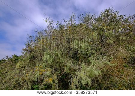 Beard Lichen Growing On Trees In The Forest, Lagoa Do Peixe National Park, Rio Grande Do Sul, Brazil