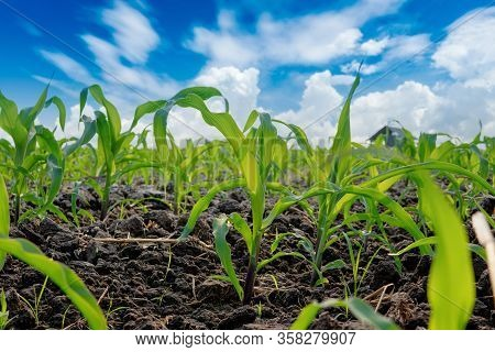 Green Corn Field In Agricultural Garden And Blue Sky With Clouds