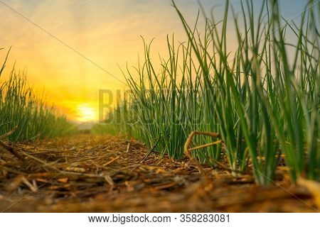 Onion Is Grown In Agriculture Garden At Sunset Background On Thailand Farm