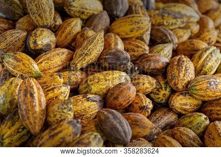 Cacao Fruit, Raw Cacao Beans And Cocoa Pod Background.