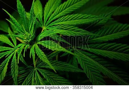 Large Leaves Of Marijuana On A Black Background. Growing Medical Cannabis.