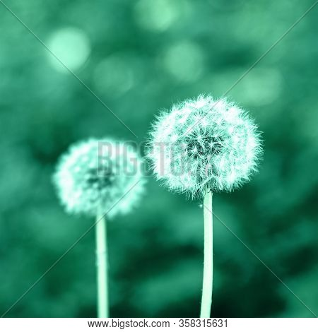 Two Dandelions Toned In Green, Bokeh Background, Selective Focus.