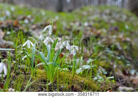 First Snowdrops In The Forest In Spring. Young Snowdrops Blooming In Spring In The Forest