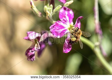 Spring Honey Bee Collect Pollen Over Violet Flower, Pollination Ecosystem