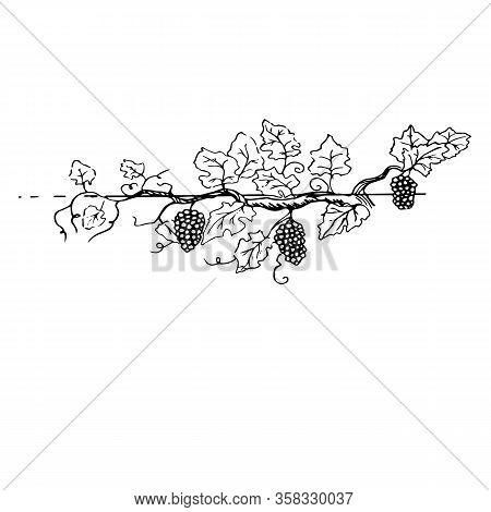 A Large And Fertile Grape Bush With Lots Of Grapes And A Branchy Root Fertile Grape Branch