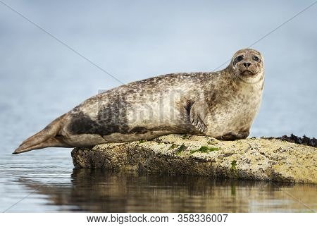 Close Up Of Common Seal (phoca Vitulina) Lying On A Rock In Lerwick Harbor, Scotland, Uk.