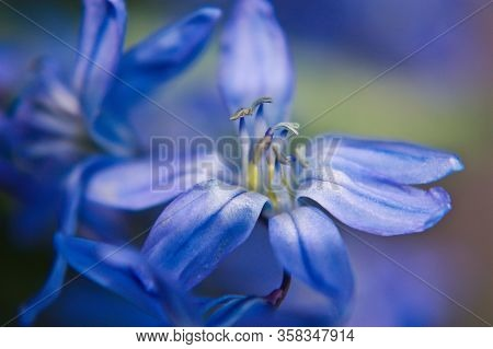 Blue Spring Time Flower As First Beauty Of Nature