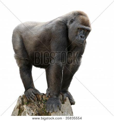 Gorilla On Tree Trunk, Isolated