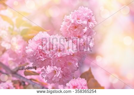 Cherry Blossom, Flowring Cherry, Cherry Brabch In Bloom