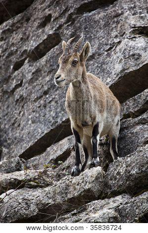 Spanish Ibex
