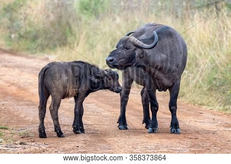 Cape buffalo, Syncerus caffer, mother and calf on a dirt road in Nairobi national Park, Kenya.